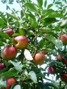 110922 リンゴ狩り02