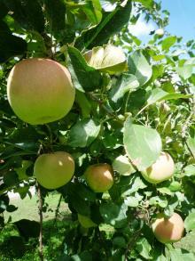 110922 リンゴ狩り05