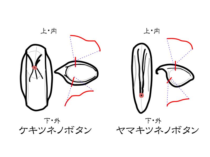 ケキツネノボタンとヤマキツネノボタン 痩果の傾向