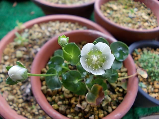 20111030梅鉢草3