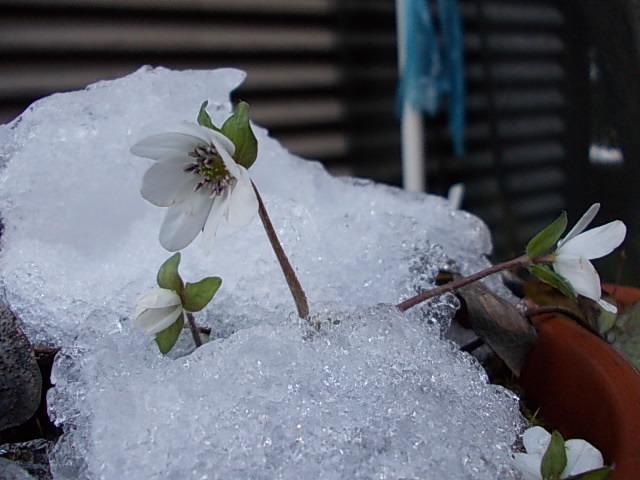 20120205雪割り草