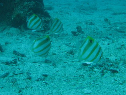 タオ島 ダイビング テンツキチョウチョウウオ