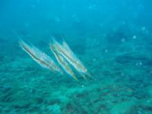 ヘコアユ ダイビング タオ島