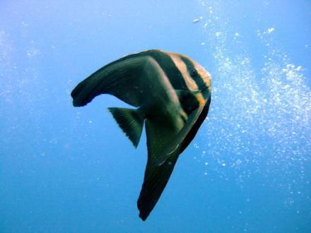 タオ島 ダイビング ツバメウオ幼魚