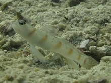 タオ島 ダイビング レッドマージンシュリンプゴビー