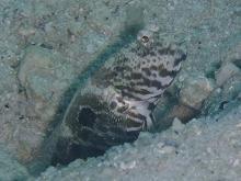 タオ島 ダイビング ヒノマルハゼ
