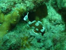 タオ島 ダイビング チョウチョウコショウダイ