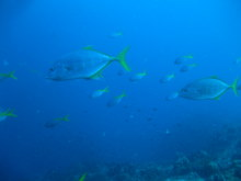 タオ島 ダイビング 魚 コガネアジ