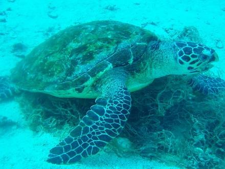 タオ島 ダイビング 亀