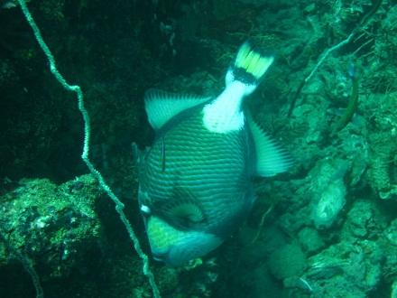 タオ島 ダイビング ゴマモンガラ