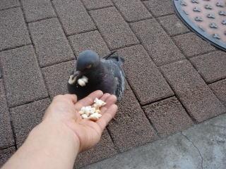 パンのみみを食べる鳩