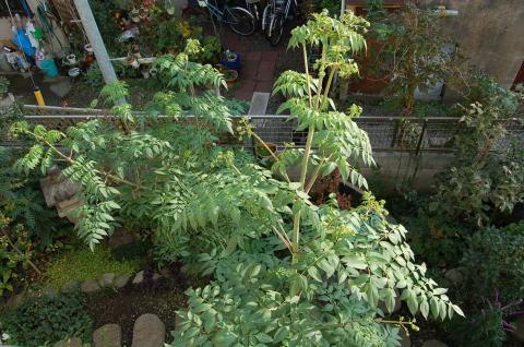 木立ダリア(皇帝ダリア)Dahlia imperialisキク科メキシコ産