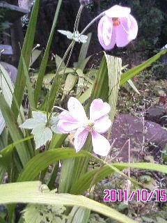 ピンク花の宿根草