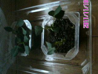 バラ挿し芽