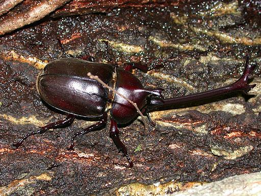 カブトムシの亜種・固有種:ナタカブトムシのイメージ