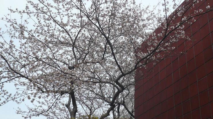 昭和医大前の桜