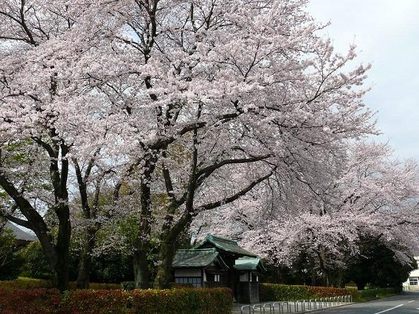 東海大学湘南校舎の桜