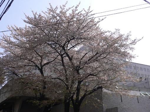 日大板橋病院 桜