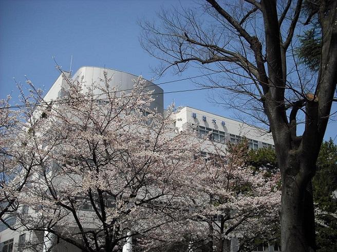 明治大学和泉キャンパスの桜