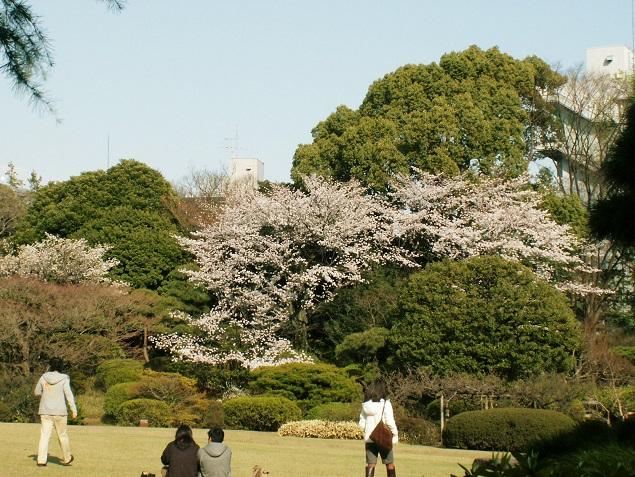 大隈庭園 桜