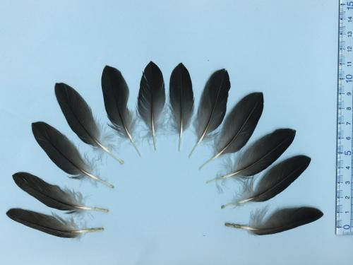 ハシブトウミガラス尾羽