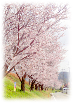 sakura-sanpo.jpg