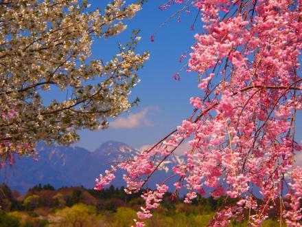 P4243521那須連山と桜