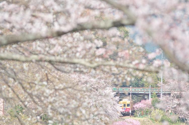 京阪3000系 桜咲く頃
