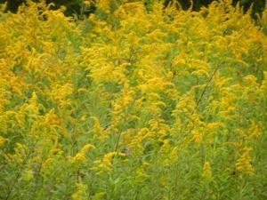 庭一面にソリダゴの花
