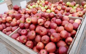 果樹園のリンゴ