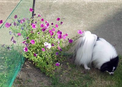 20110904お花とテンテン