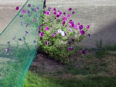 20110904お庭ランのお花