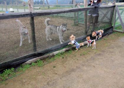 20111030チワワ対大型犬