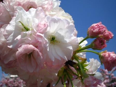 八重咲きの桜.jpg