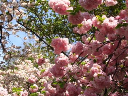 八重咲きの桜2.jpg