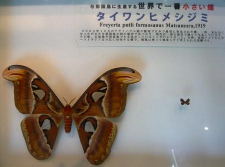 アヤミハビル館:タイワンヒメシジミ