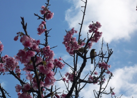 桜まつり:緋寒桜とメジロ