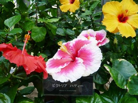 熱帯ドリームセンター:ハイビスカス