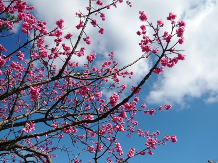 八重岳桜まつり:緋寒桜