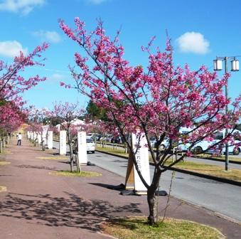八重岳桜まつり:公園