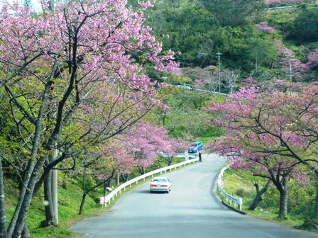 八重岳桜まつり:山道