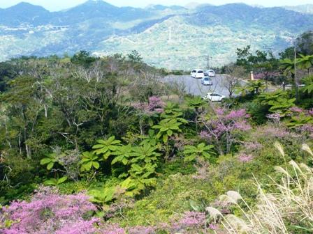 八重岳桜まつり:緋寒桜とヘゴ