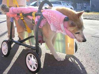 タロ 車椅子1
