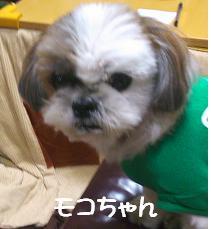 シーズー モコちゃん
