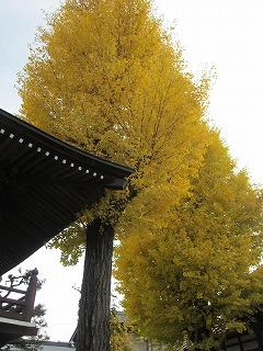 瑞雲寺の銀杏の木