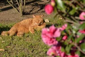 Tokyo Park Cat and Camellia Sasanqua
