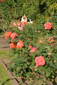 Cats and Sunny Roses