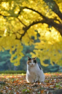 紅葉猫 Sakura-chan The Cat