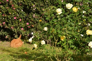 Cats In The Rose Garden