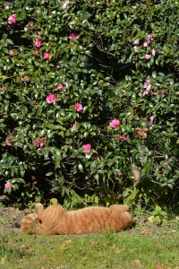 Lying Cat and Camellia Sasanqua